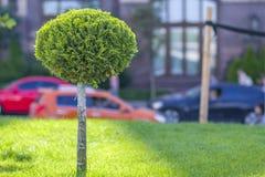 Césped verde con la hierba brillante en un parque de la ciudad con los árboles decorativos en un día de verano soleado Zona de de Foto de archivo libre de regalías