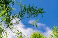 Céu acima das árvores de bambu na floresta Imagem de Stock