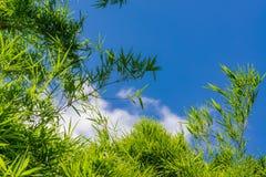 Céu acima das árvores de bambu na floresta Imagens de Stock Royalty Free