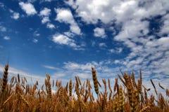 Céu azul acima do campo do centeio Foto de Stock Royalty Free