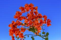 Céu azul Bethany Beyond Jordan da buganvília alaranjada fotografia de stock