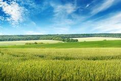 Céu azul bonito sobre o campo de trigo Foto de Stock