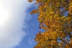 Céu azul brilhante do outono e fundo alaranjado da árvore de bordo Fotos de Stock