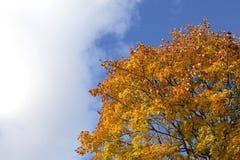 Céu azul brilhante do outono e fundo alaranjado da árvore de bordo Imagens de Stock