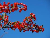 Céu azul com bagas vermelhas em um ramo de árvore Fotografia de Stock Royalty Free