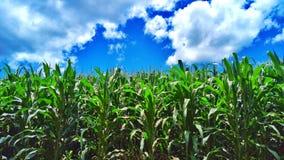 Céu azul da exploração agrícola do milho imagens de stock royalty free