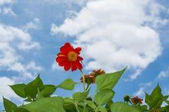Céu azul da flor da margarida Foto de Stock Royalty Free