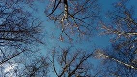Céu azul da mola através das árvores na floresta filme