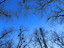 Céu azul da mola entre ramos desencapados das árvores Foto de Stock