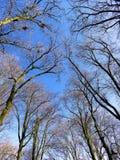 Céu azul da mola entre ramos desencapados das árvores Foto de Stock Royalty Free