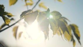 Céu azul das folhas de bordo da árvore do ramo Estilo de vida da luz solar no ramo do bordo do por do sol com balanços verdes das vídeos de arquivo