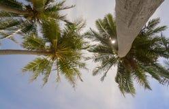 Céu azul de árvore de palmas Fotografia de Stock