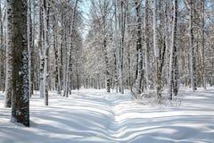 Céu azul de abril no bosque bonito do vidoeiro Foto de Stock