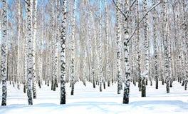 Céu azul de abril no bosque do vidoeiro Imagens de Stock
