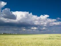 Céu azul de campo de trigo Imagem de Stock