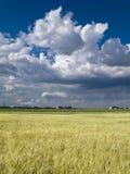 Céu azul de campo de trigo Imagens de Stock