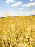 Céu azul de campo de trigo Fotos de Stock Royalty Free