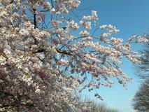 Céu azul de flor de cereja Fotografia de Stock