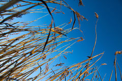 Céu azul de grama seca. Fotos de Stock