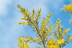 Céu azul do close-up da folha do pinho fotos de stock royalty free