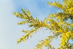 Céu azul do close-up da folha do pinho imagens de stock