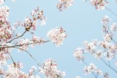 Céu azul do dia da flor da mola no ramo Fotografia de Stock Royalty Free