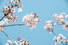 Céu azul do dia da flor da mola no ramo Fotografia de Stock