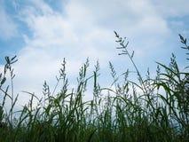 céu azul do fundo da silhueta da grama e da flor com nuvem imagem de stock