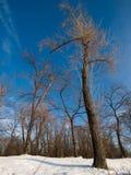 Céu azul do inverno em uma madeira. Foto de Stock