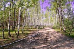 Céu azul ensolarado bonito da floresta brilhante mágica do sol da mola Fotos de Stock Royalty Free