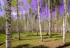 Céu azul ensolarado bonito da floresta brilhante mágica do sol da mola Imagem de Stock Royalty Free
