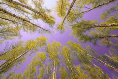 Céu azul ensolarado bonito da floresta brilhante mágica do sol da mola Fotos de Stock