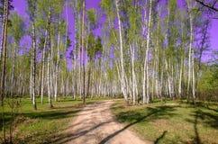 Céu azul ensolarado bonito da floresta brilhante mágica do sol da mola Foto de Stock Royalty Free