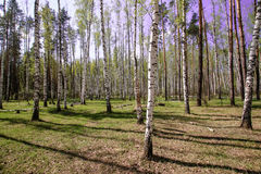 Céu azul ensolarado bonito da floresta brilhante mágica do sol da mola Imagem de Stock