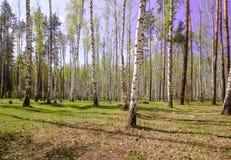 Céu azul ensolarado bonito da floresta brilhante mágica do sol da mola Foto de Stock