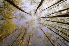 Céu azul ensolarado bonito da floresta brilhante mágica do sol da mola Fotografia de Stock
