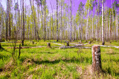 Céu azul ensolarado bonito da floresta brilhante mágica do sol da mola Imagens de Stock Royalty Free