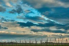 Céu azul grande acima da plantação do lúpulo Imagem de Stock Royalty Free