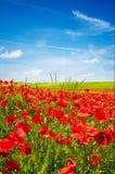 Céu azul maravilhoso e campo esplêndido das papoilas. Imagens de Stock