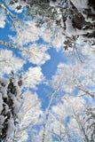Céu azul na floresta bonita do inverno imagem de stock