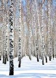 Céu azul no bosque do vidoeiro de abril Fotos de Stock