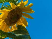 Céu azul vívido do close up do girassol de Backgound Fotos de Stock
