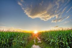 Céu bonito com céu, as nuvens e campo de milho claros fotografia de stock
