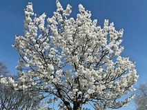 Céu branco da flor Foto de Stock Royalty Free