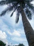 Céu claro dos cocos Fotos de Stock Royalty Free