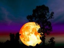 céu colorido da árvore média super da silhueta da parte traseira da lua da ascendência pura Foto de Stock Royalty Free