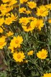 Céu da abelha Imagem de Stock