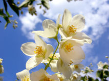 Céu de florescência Fotografia de Stock Royalty Free