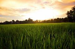 Céu do arroz Imagens de Stock Royalty Free