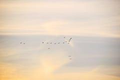 Céu do por do sol com rebanho dos pássaros Fotografia de Stock Royalty Free